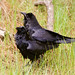 Common Raven, Corvus corax