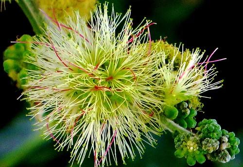 Flor de mahuacata