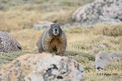 June 12, 2016 - A curious Marmot on Mt Evans. (Ed Dalton)