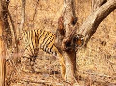 T83 Known as Lightining meaning Bijlee in vernacular (Thirdeye Reflections) Tags: tiger lightning rajasthan ranthambore tigersafari royalbengaltiger t83 bijlee