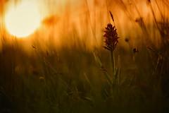 The watcher (TraceyDobbs86) Tags: sunset flower macro bokeh