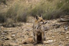 Zorro / Fox - Bardenas Reales (Yoli in Wonderland) Tags: naturaleza nature animal fauna mammal fox zorro navarra bardenas mamifero bardenasreales vulpes zorrorojo