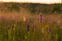 (CarolienCadoni..) Tags: light sunset sun sunlight netherlands june outside photography dof sundown bokeh outdoor nederland drenthe orchis sal85f14z nieuwbuinen sonyslta99