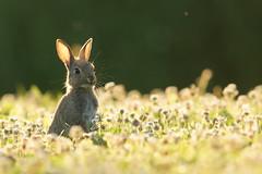 Wildkaninchen (bobby3101985) Tags: rabbit wildlife wiese lffel hase kaninchen gegenlicht abendsonne ohren abendlicht jungtier hoppel kleintier wildkaninchen