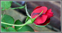 P1140266-001 Red rose bud .. Love (hartley_hare7491) Tags: redrose bud
