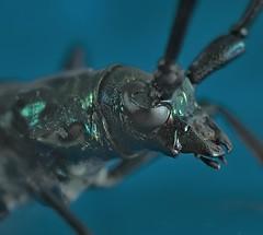 Oedemera Nobilis (rgbshot72) Tags: summer macro green closeup bug insect nikon wildlife beetle nobilis oedemera d800e