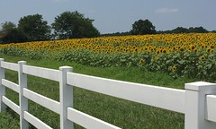 Sunflower Field (jfmecca) Tags: flowers yellow mobile fence nc bees northcarolina raleigh bee sunflowers sunflower whitefence greenway iphone neuseriver sunflowerfield
