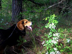 Lurchs Story (One_Track) Tags: flowers dog white flower tree leaves rural weeds woods scenery alabama marioncounty