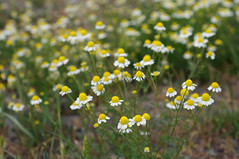 Anthemis cotula (Eric Hunt.) Tags: white flower yellow asteraceae anthemis anthemiscotula