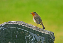 Grave Robin (RoystonVasey) Tags: life red bird grave graveyard robin stone canon eos death scotland zoom glen usm 70300mm isle arran sannox 400d