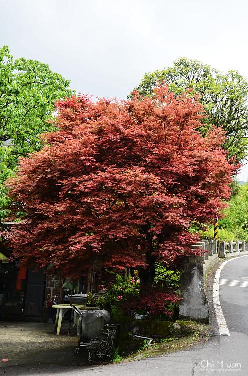竹子湖紅楓23.jpg