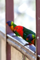 King Parrot with 2 Rainbow Lorikeets (Big Brisbane Boy) Tags: birds king wildlife parrot australia queensland