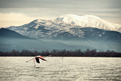 Flight Departure (McHeras) Tags: lake greek nikon zoom flamingo greece macedonia f mm nikkor 70300mm vr afs mandraki serres 70300 kilkis ifed phoenicopterus kerkini 4556 f4556  megalohori f4556g d700 akritohori        akritoxori thrakiko limnohori limnoxori megaloxori