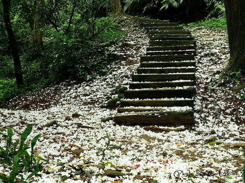 【油桐花】桃園大溪.十一指古道(整條古道都是灑落的油桐花瓣)