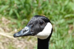 """Goose Up Close • <a style=""""font-size:0.8em;"""" href=""""http://www.flickr.com/photos/77994446@N03/7001065708/"""" target=""""_blank"""">View on Flickr</a>"""