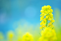It's April! (*Sakura*) Tags: blue flower macro green nature yellow japan tokyo spring  mustard sakura  canola rapeblossoms