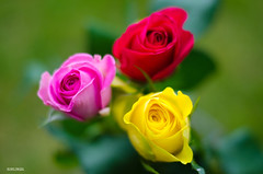 Roses Are Red, Yellow and Pink! (BGDL) Tags: roses garden bouquet niftyfifty nikond7000 ourdailychallenge elementsorganizer