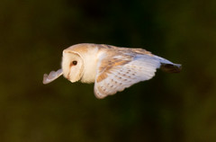 BARN OWL at STRUMPSHAW FEN (jdoakey) Tags: uk greatbritain england brown colour detail bird eye reed beautiful up animal barn woodland reeds fly flying wings pretty colours breast close view display britain dusk gorgeous sony great norfolk flight wing beak feathers feather meadow raptor owl norwich fields british marsh unusual lovely soaring gliding dslr favourite incredible fen animalplanet bearded atmospheric raptors oakley barnowl clearsky birdofprey hover bif highaltitude reedbed birdinflight strumpshaw a55 featheryfriday strumpshawfen flickraward avianexcellence dslt sal70400g sony70400 flickraward5 flickrawardgallery sonya55