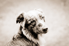Jett bored. (RocketDog1170) Tags: portrait dog sepia aussie australianshepherd redmerle highqualitydogs