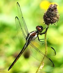 Slaty Skimmer (Libellula incesta) Female (jwinfred) Tags: macro nature mississippi nikon insects delta cypress preserve greenville 105mm d5100