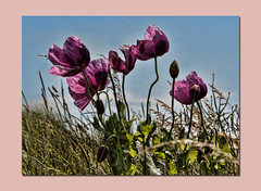 Wild Poppies (stmoritz1960) Tags: flowers blue purple lilac poppies blooms