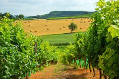 Through the Vines (Paul in Japan) Tags: summer france field rural landscape vineyard wine agriculture tarn region