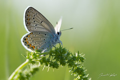 Plebejus cf. argyrognomon, male / Reverdin's Blue / Modrsek podobn, samec (Jaroslav Kaas) Tags: animals canon insects lepidoptera arthropods animalia arthropoda insecta lycaenidae butterfliesandmoths gossamerwingedbutterflies taxonomy:class=insecta taxonomy:order=lepidoptera taxonomy:kingdom=animalia taxonomy:phylum=arthropoda taxonomy:family=lycaenidae camera:make=canon exif:make=canon exif:iso_speed=200 exif:aperture=f4 taxonomy:genus=plebejus taxonomy:sex=male exif:flash=off camera:model=canoneos7d exif:model=canoneos7d exif:lens=canonef100mmf28lmacroisusm exif:tripod=off exif:exposure=1125sec original:filename=img18403jpg taxonomy:species=argyrognomon taxonomy:binomial=plebejusargyrognomon