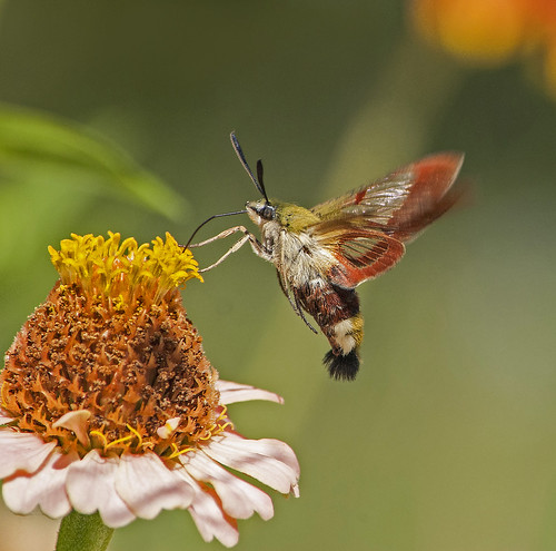 Hummingbird Clearwing Moth7.7