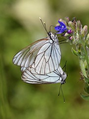 Black-veined White (chaz jackson) Tags: white butterflies insects bulgaria pieridae crataegi aparia blackveied