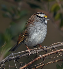 White-Throated Sparrow (RedSkeeter1) Tags: nature birds lens virginia g wildlife sony feathers sparrow yorktown whitethroated specanimal 70400 a580 alittlebeauty