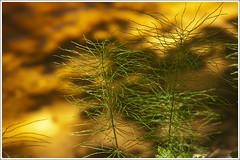 20120618. Prnumaa. Laiksaare. Rannametsa river. 2931. (Tiina Gill (busy)) Tags: nature water river estonia horsetail coth prnumaa laiksaare rannametsariver