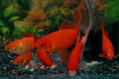They know the dinner time..!  (erikomoket) Tags: red japan nikon goldfish know explore aomori  they  japon dinnertime  poissonrouge    goldfishs d3200 inexplore inakadate inandoutofexplore erikomoket   destroisnergiques   theyknowthedinnertime