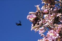 mamangava (Xylocopa sp.) em flores de ip-roxo (Tabebuia impetiginosa) - 1 (Luiz Filipe Varella) Tags: brazil klein bees insects filipe wasps brazilians luiz abelhas brasileiras varella tabebuia polinizao iproxo xylocopa mamangava
