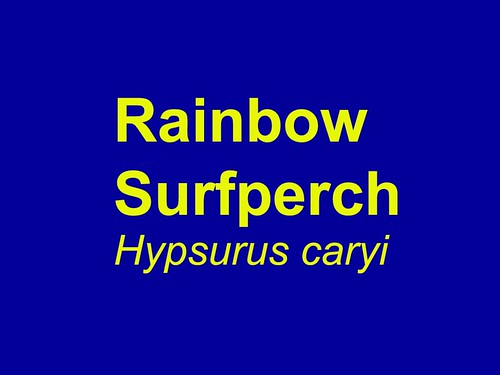 Rainbow  Surfperch