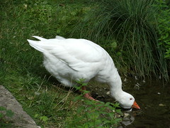 weie Gans (its--me) Tags: park white water pond wasser drink gans shore fowl ufer teich trinken weis tiergehege hringen