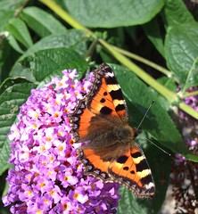 """Small Tortoiseshell (Aglais urticae)((2) • <a style=""""font-size:0.8em;"""" href=""""http://www.flickr.com/photos/57024565@N00/7833262820/"""" target=""""_blank"""">View on Flickr</a>"""