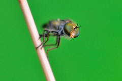 Johnny Green Eyes (Javier_Lpez) Tags: wild naturaleza color planta nature fly flora nikon alicante papel tamron javier 90 fondo mosca elx elche macrofotografa lpez salvaje d7000 javierlpez carabass