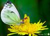 Mariposa (Kissa V.P.) Tags: flower macro yellow butterfly flor amarillo nectar blume makro mariposa schmetterling 蝴蝶 nektar gelbe 黄花 宏 蜜源