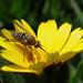 Mosca abeja y la Calendula