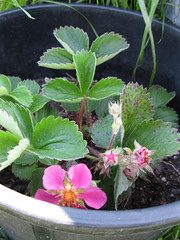 Strawberry plant_4630868742_l