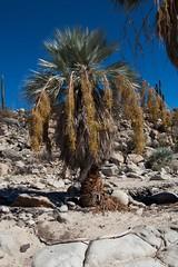 Mexican blue palm (Brahea armata) - Canyon-Wanderung - Baja California, Mexico (anschieber | niadahoam.de) Tags: mexico bajacalifornia wüste 2014 wüstenlandschaft niederkalifornien 201402 sonorawüstesonorandesert mexicanbluepalmbraheaarmata
