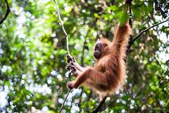 Ratna 4797 (Ursula in Aus (Resting - Away)) Tags: animal sumatra indonesia unesco orangutan ape greatape bukitlawang gunungleusernationalpark earthasia