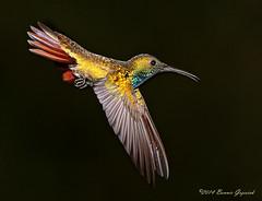 The Dive Bomber  5875 (Bonnieg2010) Tags: wild bird nature flying inflight costarica hummingbird feathers avian allrightsreserved ranchonaturalista greenbreastedmango greenbreastedmangohummingbird bonniegrzesiak