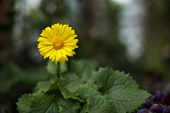 5T5A5191 (dannymol) Tags: flowers stilllife yellow closeup day outdoor