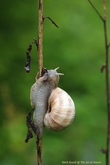 Helix pomatia - munch, munch, munch ...this very large Roman snail balancing on an old seed head. The snails of Belmont Banks. (favmark1) Tags: kent belmont snails faversham burgundysnails romansnails heixpomatia belmontbanks