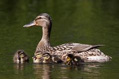 _F0A7780.jpg (Kico Lopez) Tags: birds rio spain aves galicia lugo mio anasplatyrhynchos anadeazulon