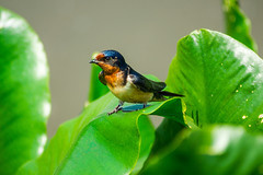 Barn swallow (Black Hound) Tags: sony a500 minolta swallow barnswallow johnheinznationalwildliferefuge johnheinznwr bird