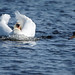 Mute Swan on a Mission