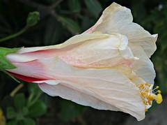 Unfurling! ('cosmicgirl1960' NEW CANON CAMERA) Tags: travel flowers green nature gardens spain holidays parks espana costadelsol andalusia puertobanus marbella yabbadabbadoo worldflowers