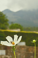 Searching nectar (Connoisseur.Rohit) Tags: india flower nikon bee nectar collect munnar iamnikon iamd7200